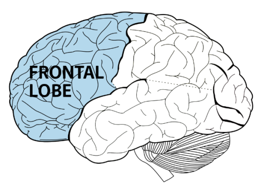 The Front Of Brain Behind Forehead Is Frontal Lobe Part That Helps People To Organize Plan Pay Attention